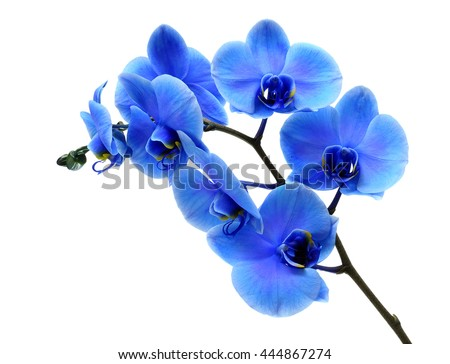 Blue flower orchid on white background - stock photo