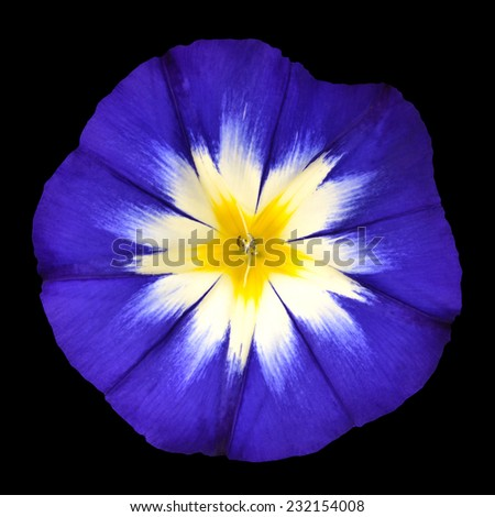 Blue Flower with White Yellow Star Shaped Center Isolated on Black Background. Macro of Primula Flower - stock photo