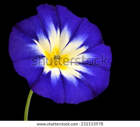Blue Flower with White Yellow Star Shaped Center with Green Stick Isolated on Black Background. Macro of Primula Flower - stock photo