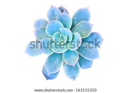 Blue flowering cactus on white background - stock photo