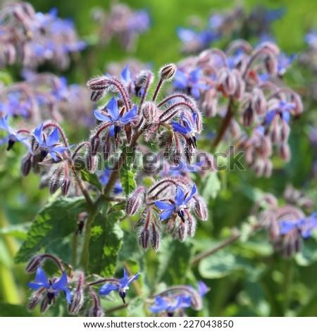 Blue flowers of Borage (Borago officinalis or Echium amoenum)  - stock photo