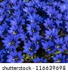 blue flowers of gentiana alpina - stock photo