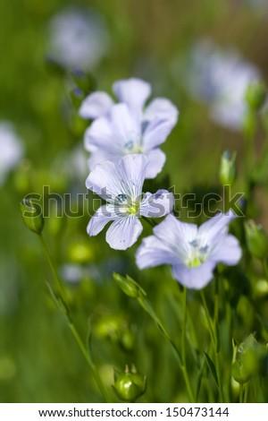blue flowers of Linum usitatissimum, flax - stock photo