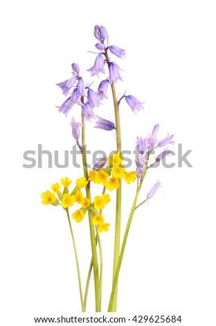 Blue flowers of Spanish bluebells (Hyacinthoides non-scripta) and yellow cowslips (Primula veris) isolated against a white background - stock photo