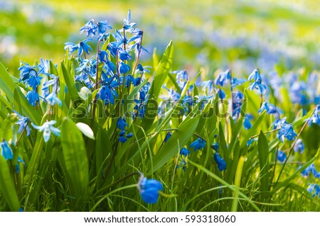 Blue flowers squill green grass early stock photo royalty free blue flowers of squill in green grass early spring bloomers in sunshine spring greetings mightylinksfo