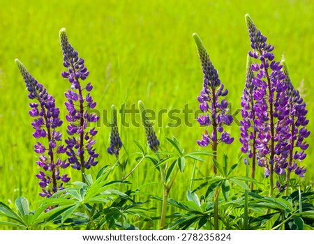 Blue flowers of the lupine (Lupinus) in the green meadow. - stock photo
