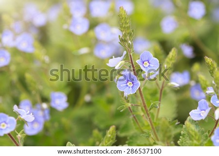 blue flowers of Veronica chamaedrys (Germander Speedwell, Bird's-eye Speedwell), selective focus, macro - stock photo