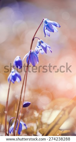 Blue flowers snowdrop blossoming at the beginning of spring - a Scilla Siberica - stock photo