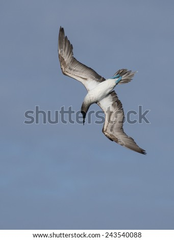 Blue foodted booby bird - Galapagos Islands National Park - Ecuador South America - stock photo