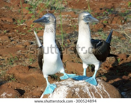 Blue-Footed Boobies - stock photo