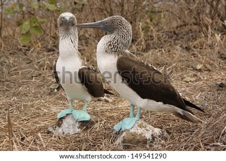 Blue Footed Boobies at Isla de la Plata, Ecuador. - stock photo