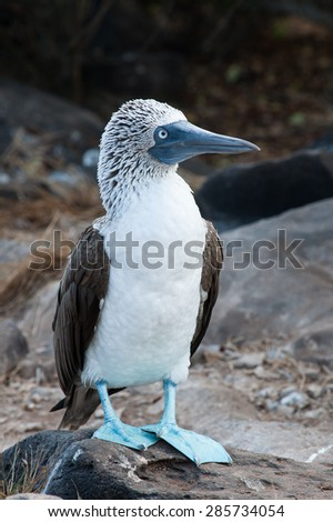 Blue footed boobies on the Galapagos Islands, you will see them everywhere and really close by. Funny animals while doing there 'dance' to impress the ladies. - stock photo