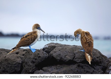 Blue footed boobies on the rocky coastline of Galapagos - stock photo