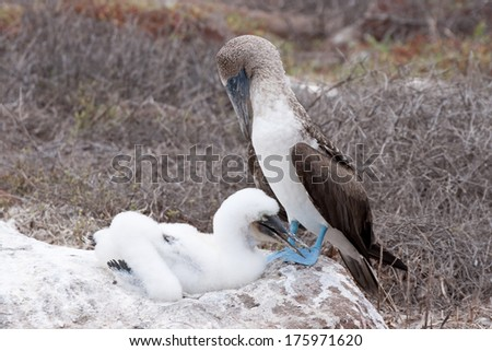 Blue-footed boobies (parent and juvenile) on North Seymour Island, Galapagos, Ecuador - stock photo