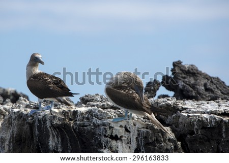 Blue-footed boobies standing on the stones against a blue sky in the Galapagos Islands, Ecuador