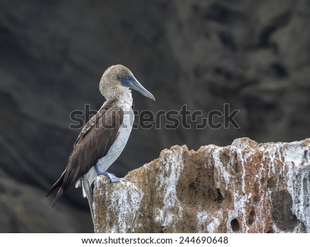 blue footed booby Bartolome Island - Galapagos National Park ecuador  South America - stock photo
