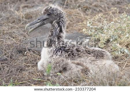 Blue Footed Booby Chick, Galapagos Islands, Ecuador - stock photo