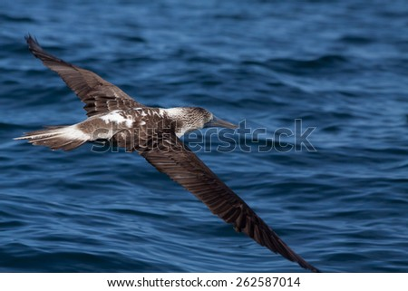 Blue footed booby flying in the Galpagos Islands, Ecuador - stock photo