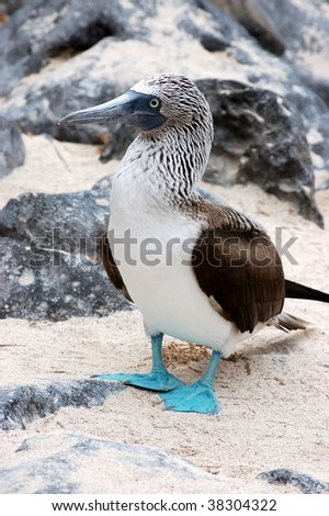 Blue-footed Booby.Galapagos islands.