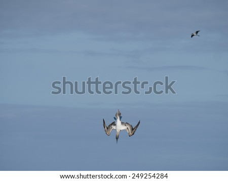 Blue Footed Booby - Galapagos Islands National Park - Ecuador South America - stock photo