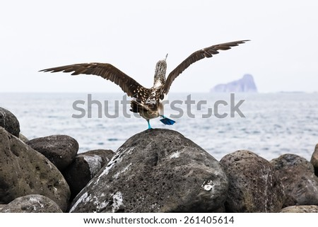 Blue-footed booby in courtship dance on the rocks, Galapagos - stock photo