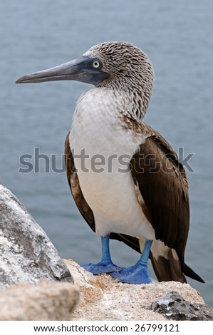 Blue-footed booby is posing - stock photo