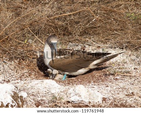 Blue footed booby is seabird with baby chick living on Galapagos Islands National Park in Ecuador - stock photo
