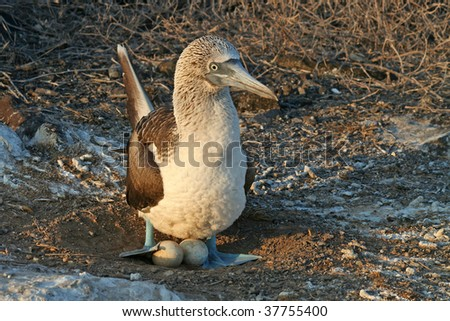 Blue-footed booby nesting, Española Island, Galapagos - stock photo