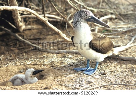 Blue Footed Booby – Parent and Chick - stock photo