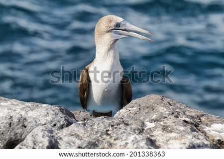 Blue-footed Booby (Sula nebouxii), Eastern Pacific subspecies, Galapagos.