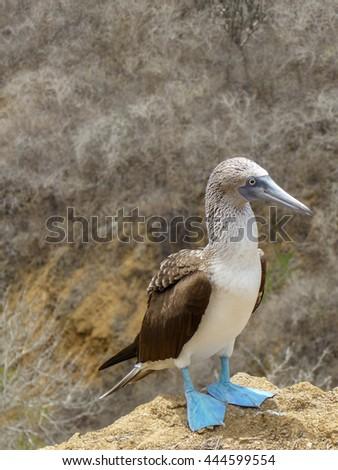 Blue-footed Booby (Sula Nebouxii), Galapagos Islands, Ecuador Copy Space - stock photo