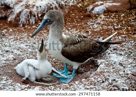 Blue footed booby with booby chick in the Galapagos Islands, Ecuador - stock photo