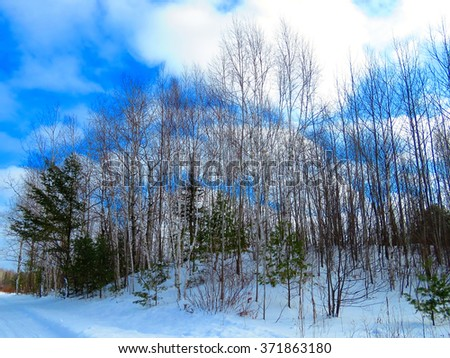 Blue forest, a winter landscape of slender white birch, green pines and other hardwoods on a snow covered hill with a peekaboo partly sunny blue skies behind.                           - stock photo