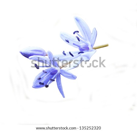 blue forest flowers, Spring Bluebell - stock photo