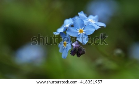 blue forget-me in the green