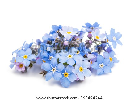 blue forget-me-not flowers isolated on white background - stock photo