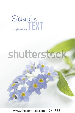 blue forget-me-not on white - stock photo