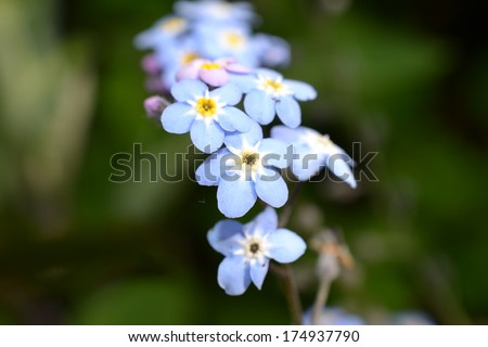 blue forget-me-not short depth of field - stock photo