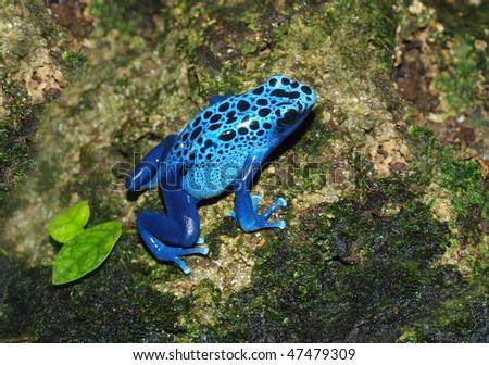 Blue frog - Dendrobates azureus - stock photo