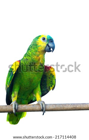 Blue fronted Amazon parrot isolated on white background with clipping path. - stock photo
