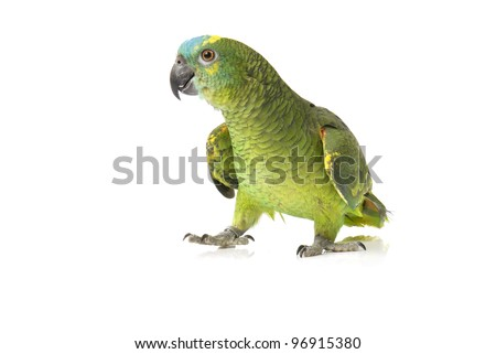 Blue fronted Amazon parrot on white background - stock photo