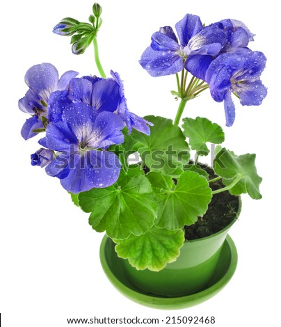 Blue geranium flower in a clay pot isolated on white background - stock photo
