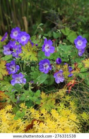 Blue Geranium with yellow plants nature background - stock photo