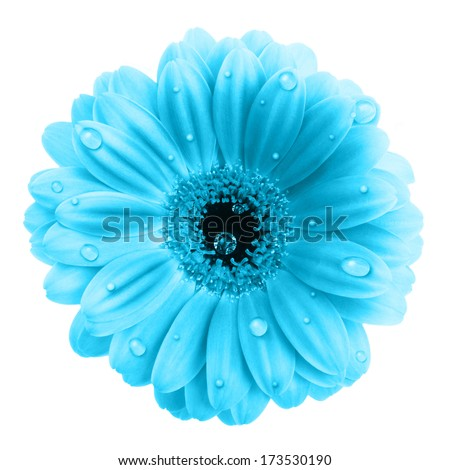 Blue gerbera flower with water drops isolated on white background - stock photo