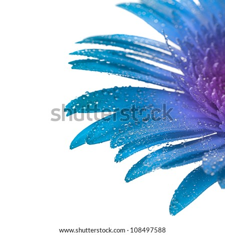 Blue gerbera with macro drops on white background - stock photo