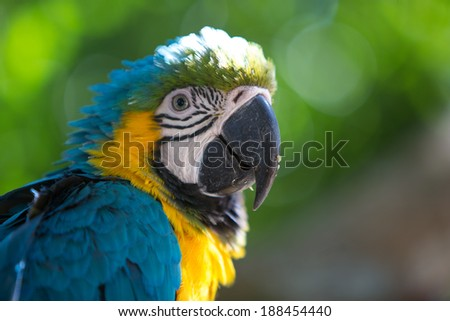 Blue Gold Macaw, breeds in forest and woodland of Tropical South America from Trinidad and Venezuela south of Brazil, Bolivia, Colombia and Paraguay. - stock photo