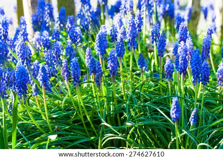Blue grape hyacinths blooming in the garden under the sunlight - stock photo