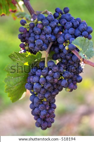 Blue grapes cluster