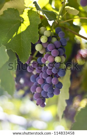 Blue grapes cluster on vine, closeup photo - stock photo