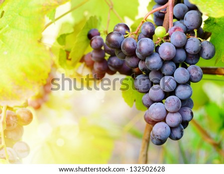 Blue grapes cluster on vine with copy-space against sunlight - stock photo